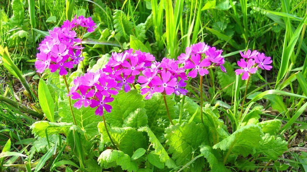 大阪府の花「サクラソウ」