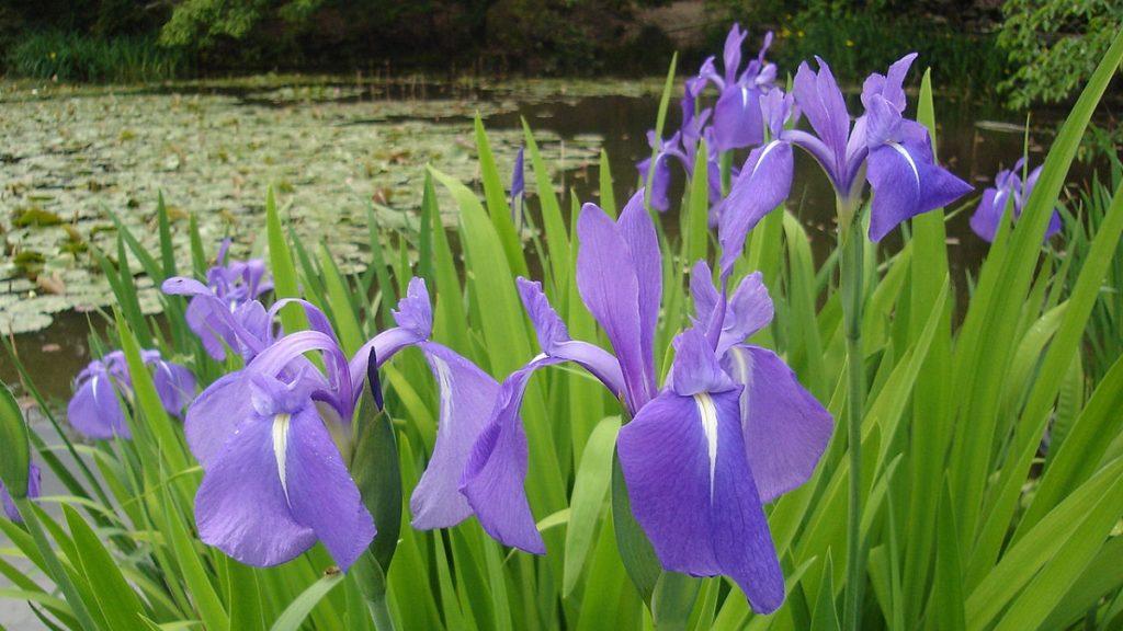 愛知県の花「カキツバタ」