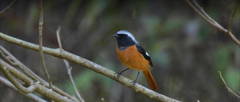 野鳥観察 ジョウビタキ
